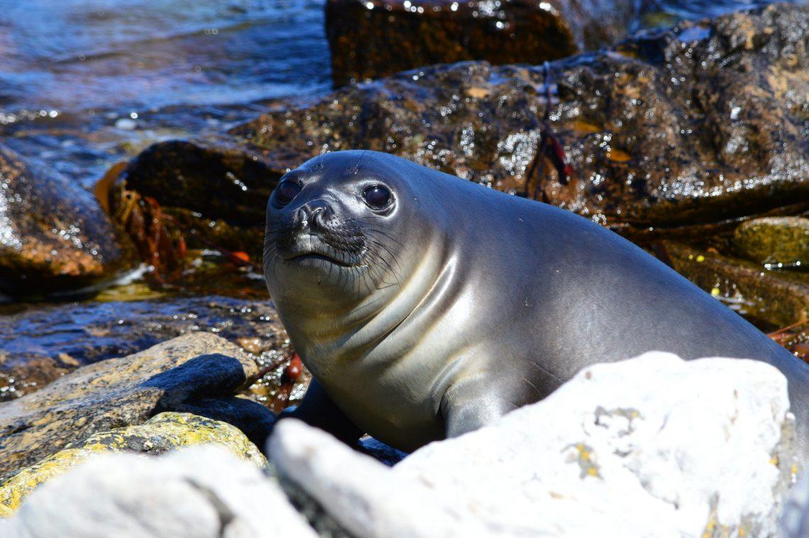 elephant seal the Falklands
