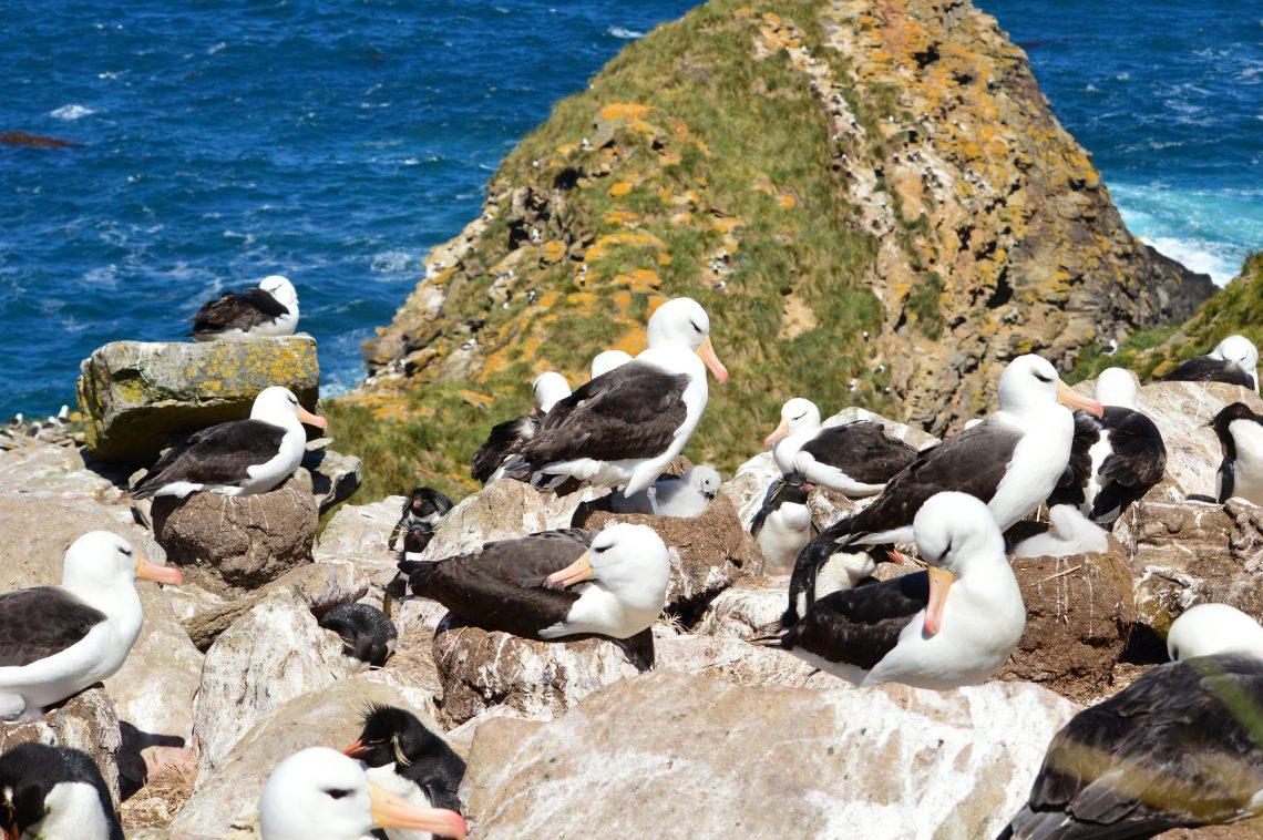 Black Browed Albatross Falklands