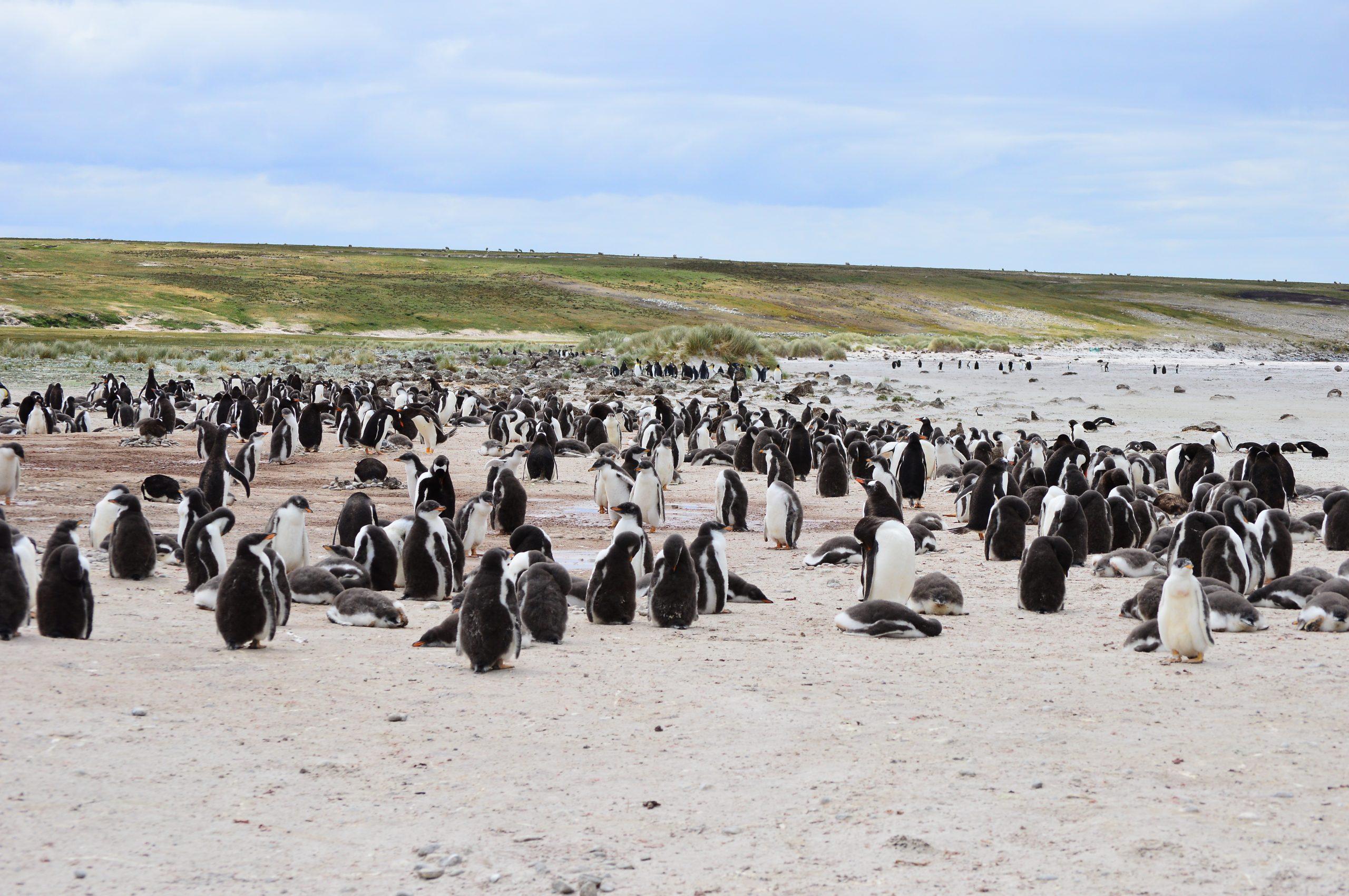 Gentoo Penguins visit the Falklands