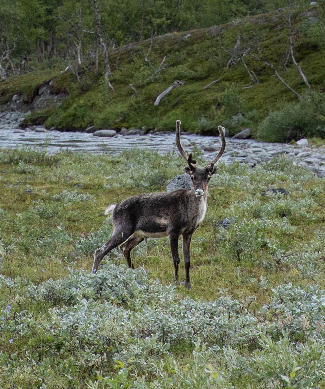 Scandinavia-reindeer